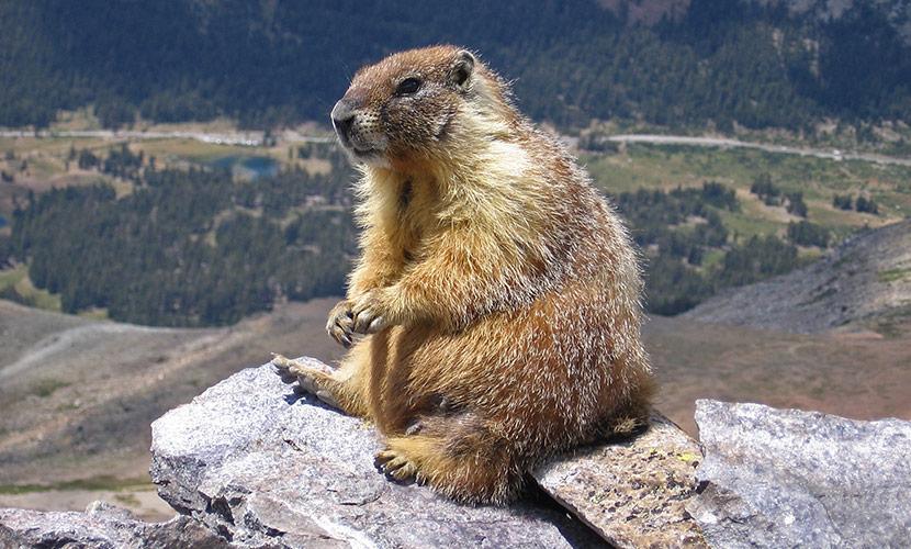 Photo Of Marmot Courtesy Of Wikipedia